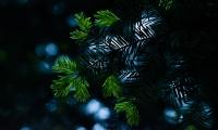 Details van een naaldboom