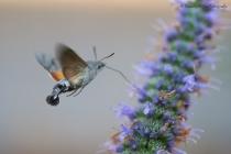 Kolibrievlinder,