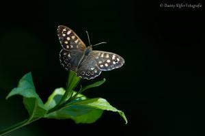 Bont-zandoogje-Heemtuin-Presikhaaf-Arnhem-vlinder-vlinders-insecten-fauna-flora
