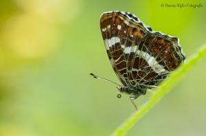 Landkaartje-sonsbeek-Arnhem-vlinder-vlinders-natuur-groen-insect