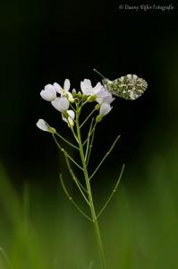 oranjetipje-Heemtuin-Presikhaaf-Arnhem-vlinder-vlinders-insecten-fauna-flora