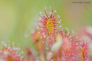 Zonnedauw-Heidehoekse-vloed-halle-achterhoek-flora-mos-mossen-macro
