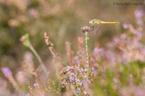 Zwervende heidelibel, Ermelo (14)