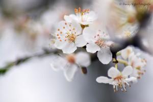 prunus-spinosa-meinerswijk-bloem-wit-flora-plant-natuur